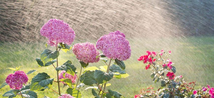 Hydrangeas Watering Sprinkling  - JillWellington / Pixabay
