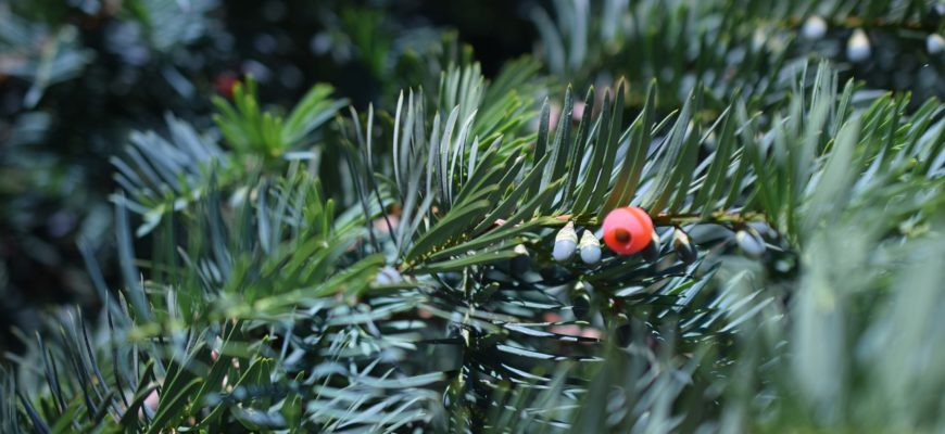 Taxus Baccata Evergreen Green  - Jasminka / Pixabay